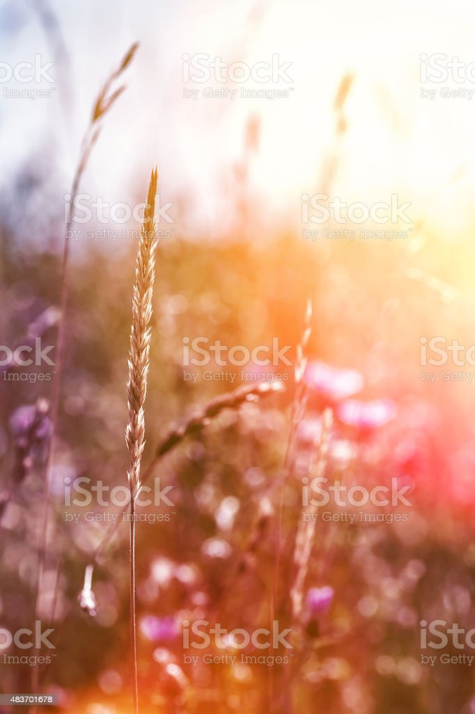 Flowery field plant selective focus during bright colorful sunset stock photo
