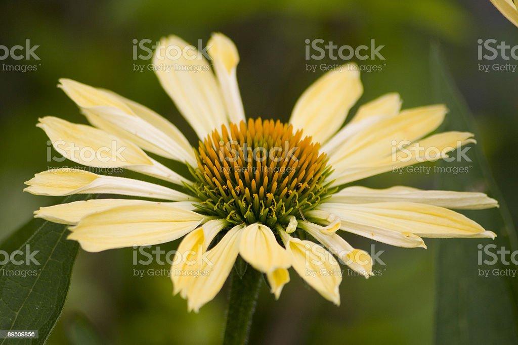 Flower-yellow coneflower royalty-free stock photo