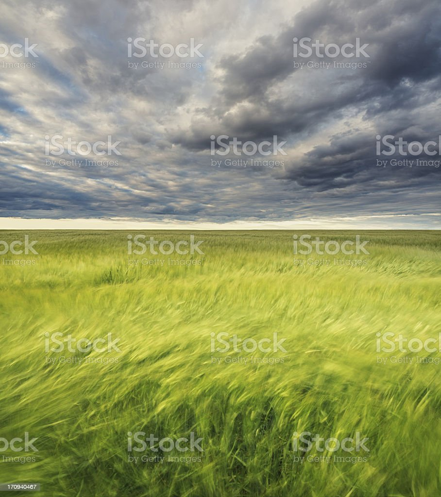 Flowing Wheat Field royalty-free stock photo