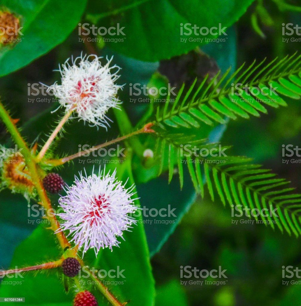 Flowrs of Mimosa Pudica. stock photo
