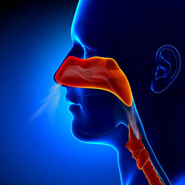 Flu - Full Nose - Human Sinuses Anatomy stock photo