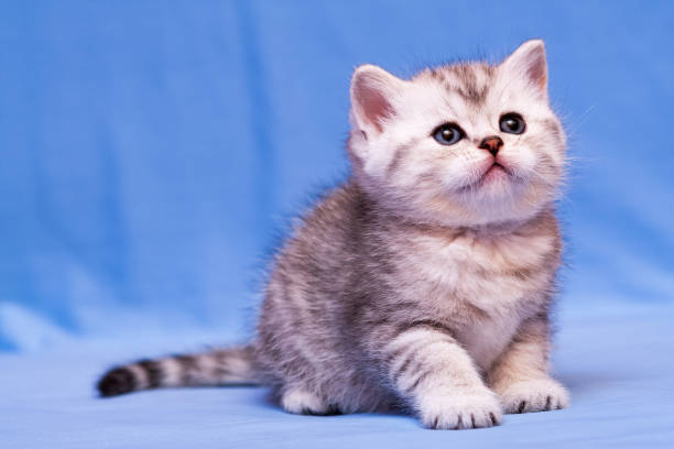 Fluffy black and white British kitten sitting on a blue background stock photo
