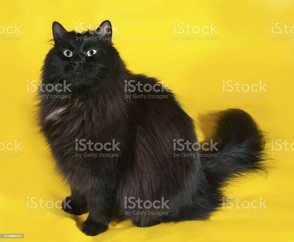 Fluffy Black Cat With Green Eyes Sitting On Yellow Stock Photo Download Image Now Istock