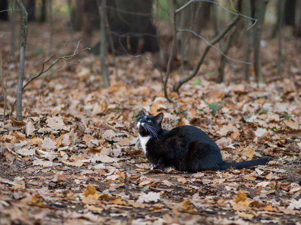 Fluffy black cat with white spots walking in park. Stray animal in forest. stock photo