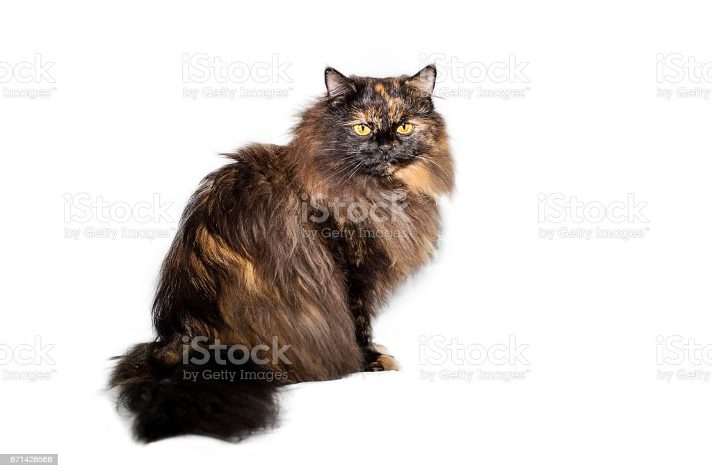 Fluffy black-haired cat sitting and looking sadly isolated on white background stock photo
