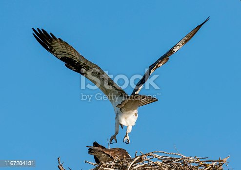 The fluffy bloomers of an Osprey landing in its nest with blue sky background