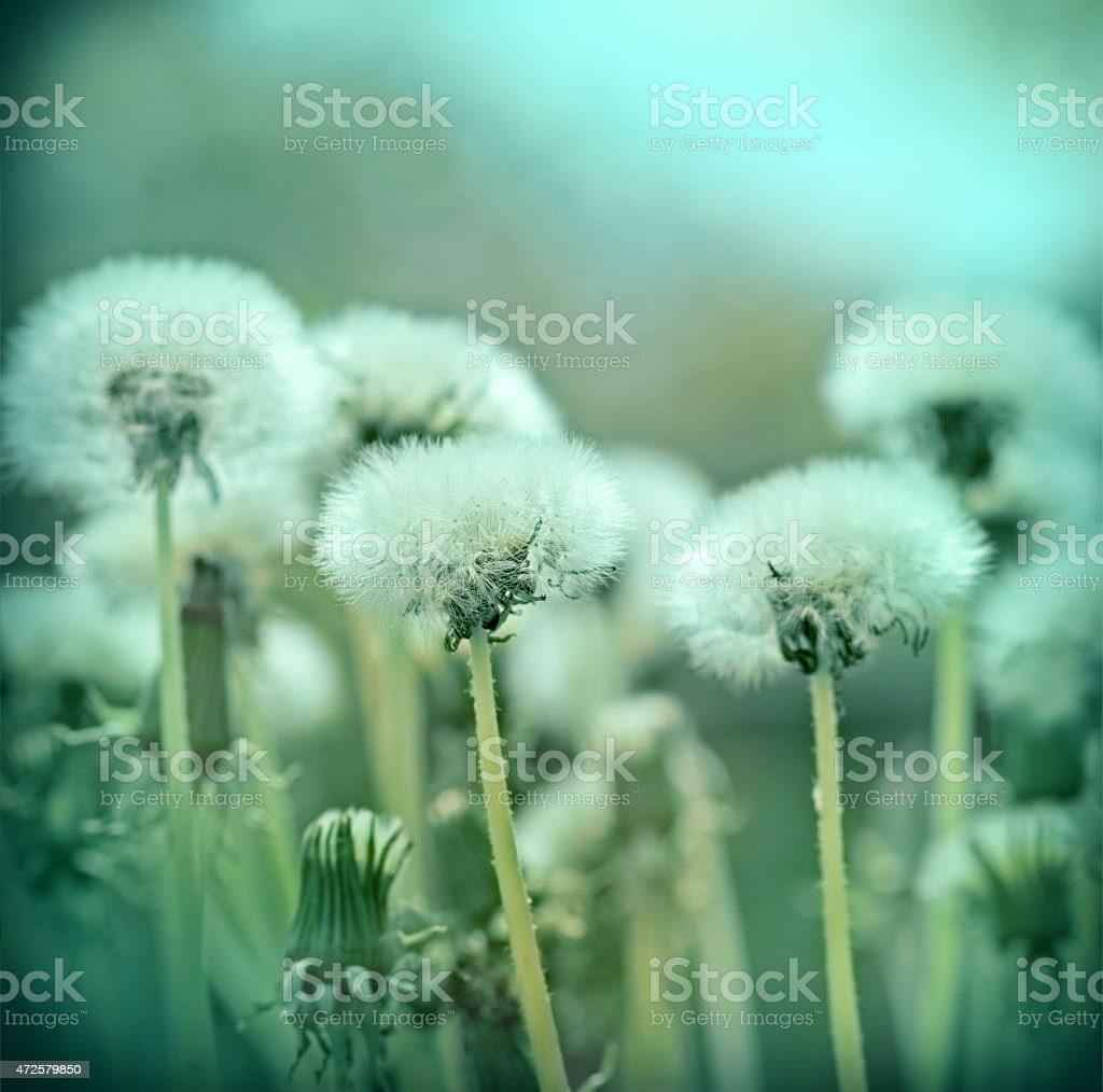 Fluffy blowball - dandelion seeds in spring stock photo