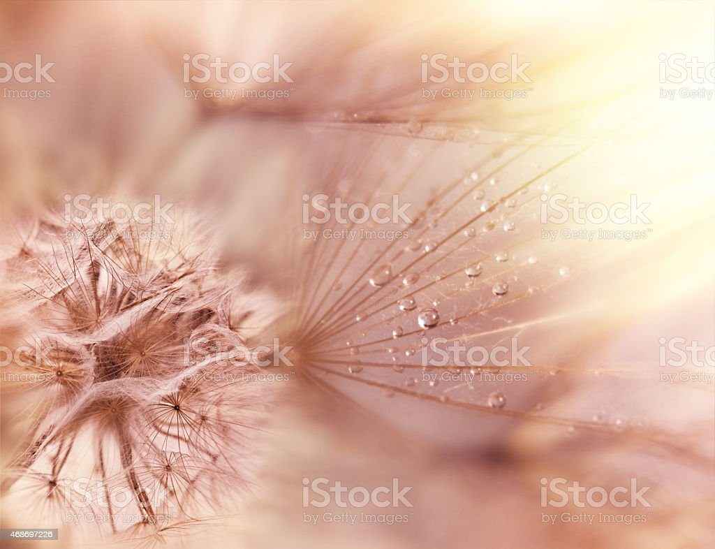 Fluffy blowball - Dandelion seeds - stock photo