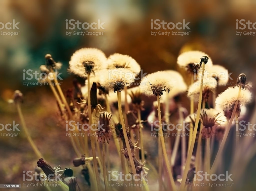 Fluffy blowball - dandelion seeds stock photo