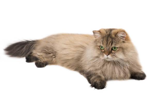 Moelleux chat poil long Britannique, isolé sur fond blanc - Photo