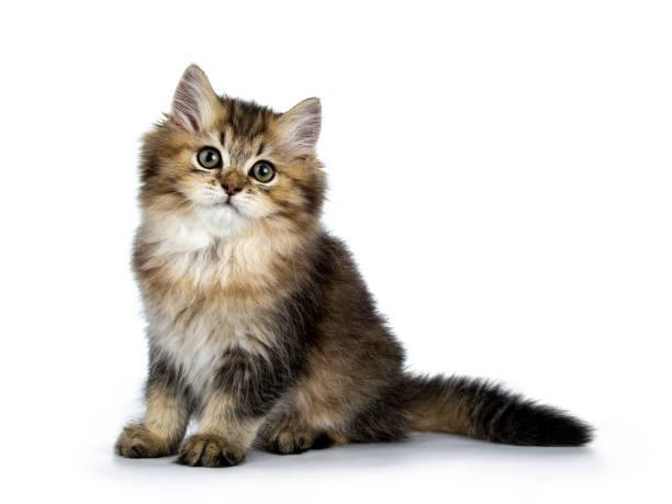 Moelleux British Longhair chat chaton assis manières latérales avec queue derrière le corps, regardant la caméra isolée sur banckground blanc - Photo