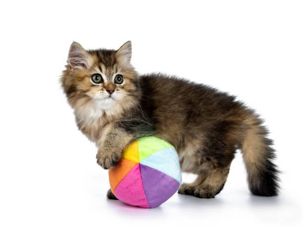 Fluffy chaton British Longhair jouant manières latérales avec un multi couleur de balle molle, à la recherche à la caméra de côté, isolée sur fond blanc - Photo