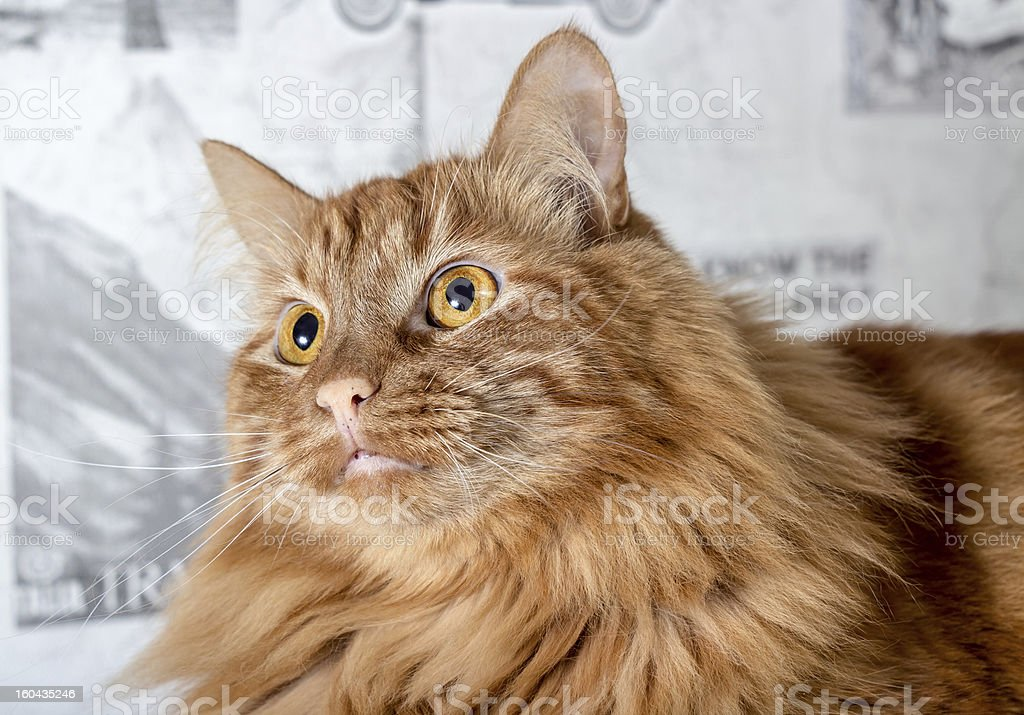 Fluffy brown cat royalty-free stock photo