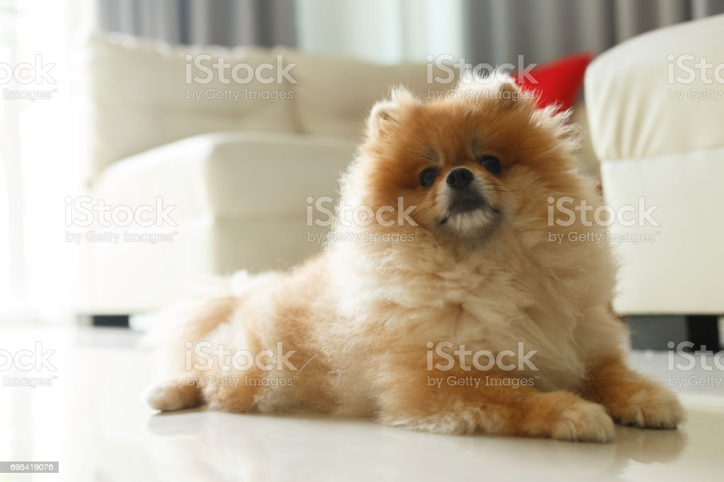 Most Inspiring Fluffy Brown Adorable Dog - fluffy-brown-pomeranian-cute-dog-small-pet-friendly-picture-id695419076  Collection_20452  .com/photos/fluffy-brown-pomeranian-cute-dog-small-pet-friendly-picture-id695419076