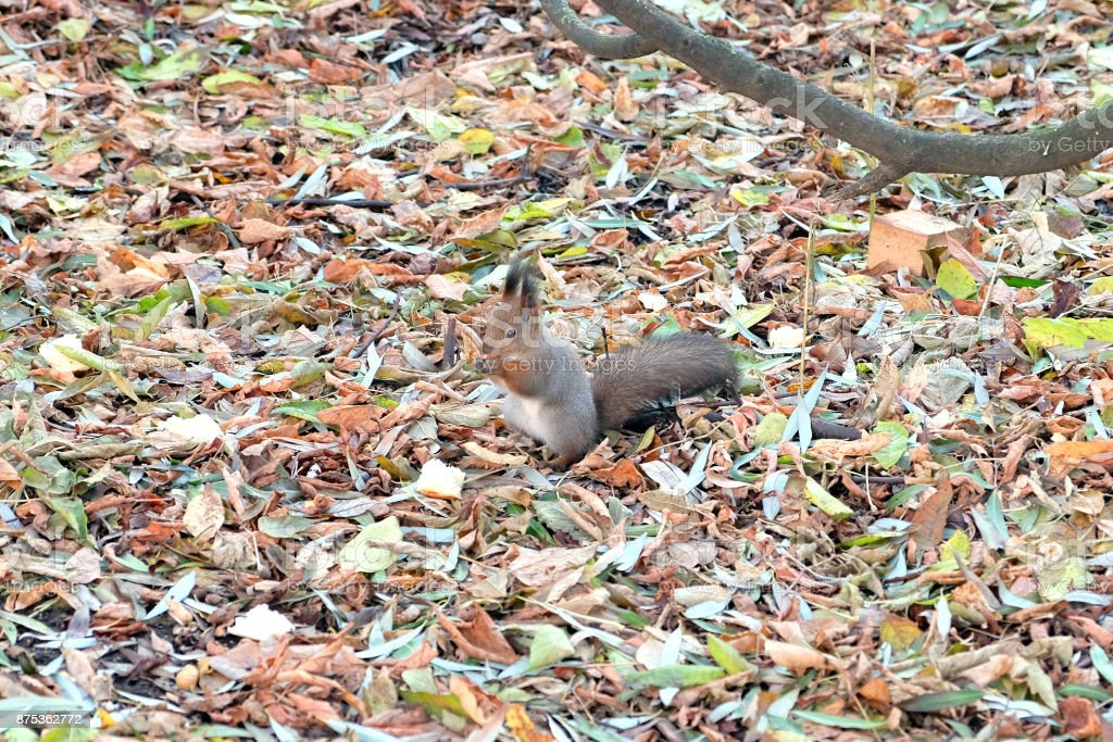 Fluffy brown squirrel sits between on fallen leaves carpet in autumn park stock photo