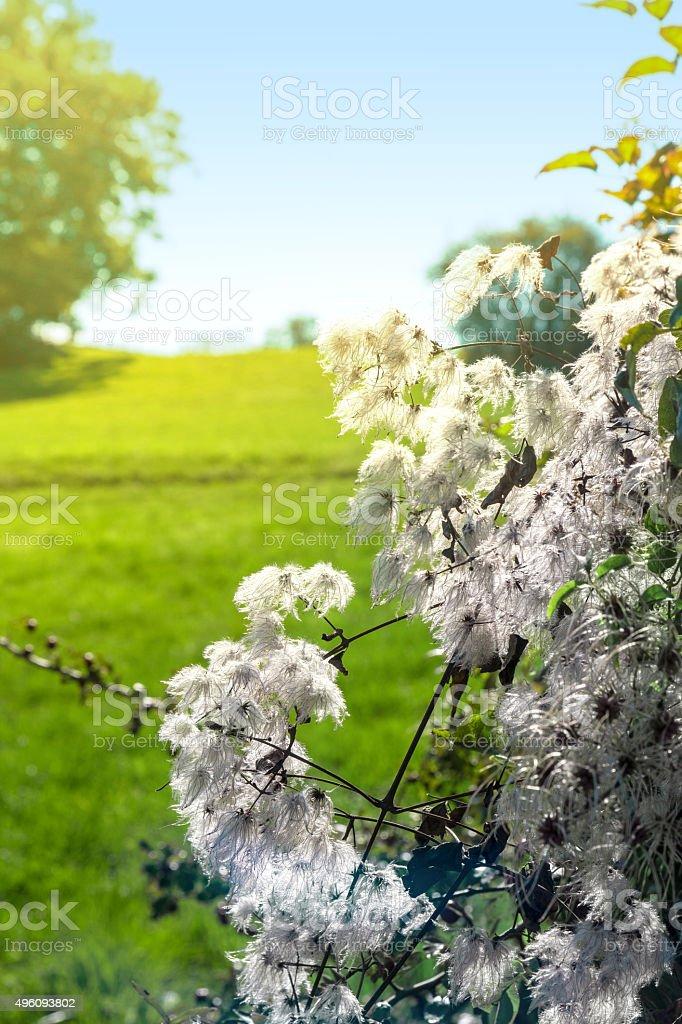Fluffy bush plant in nature in autumn season under sunlight stock photo