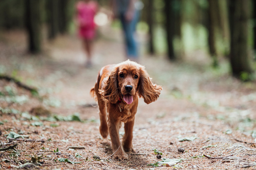 A cocker spaniel running through a woodland area while looking at the camera.
