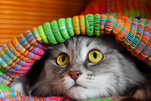 Fluffy cat hiding under colorfull mat Gray and white fluffy cat with scared yellow and green eyes hiding under colorfull mat, closeup view scared cat stock pictures, royalty-free photos & images