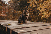 Fluffy tabby siberian cat in the autumn park. A wooden road between colorful foliage. Pet friendly country hotel.