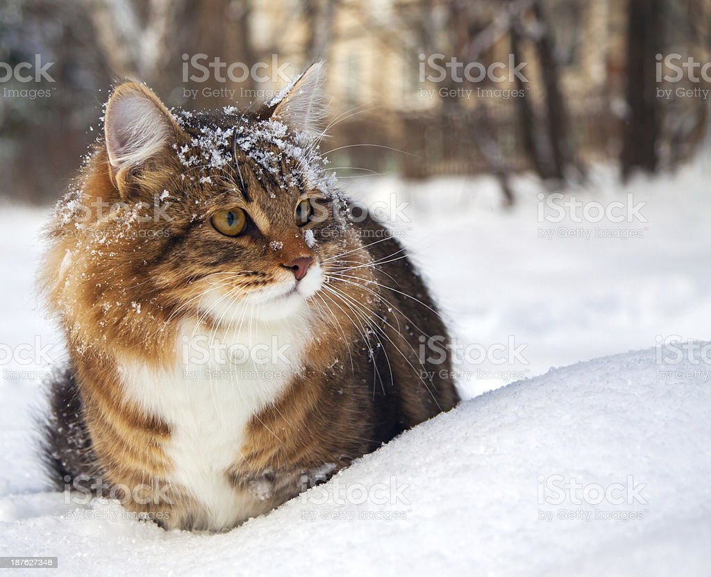 Fluffy cat in the snow with snow on its head stock photo