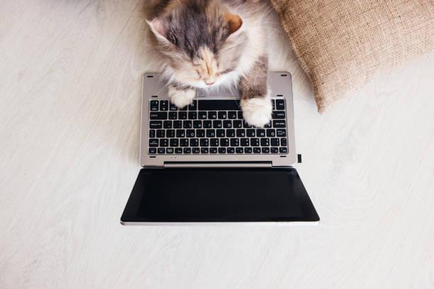 Flauschige Katze legt auf Holzboden mit laptop – Foto