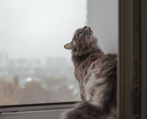 Fluffy cat looking out the window to the city (up) stock photo