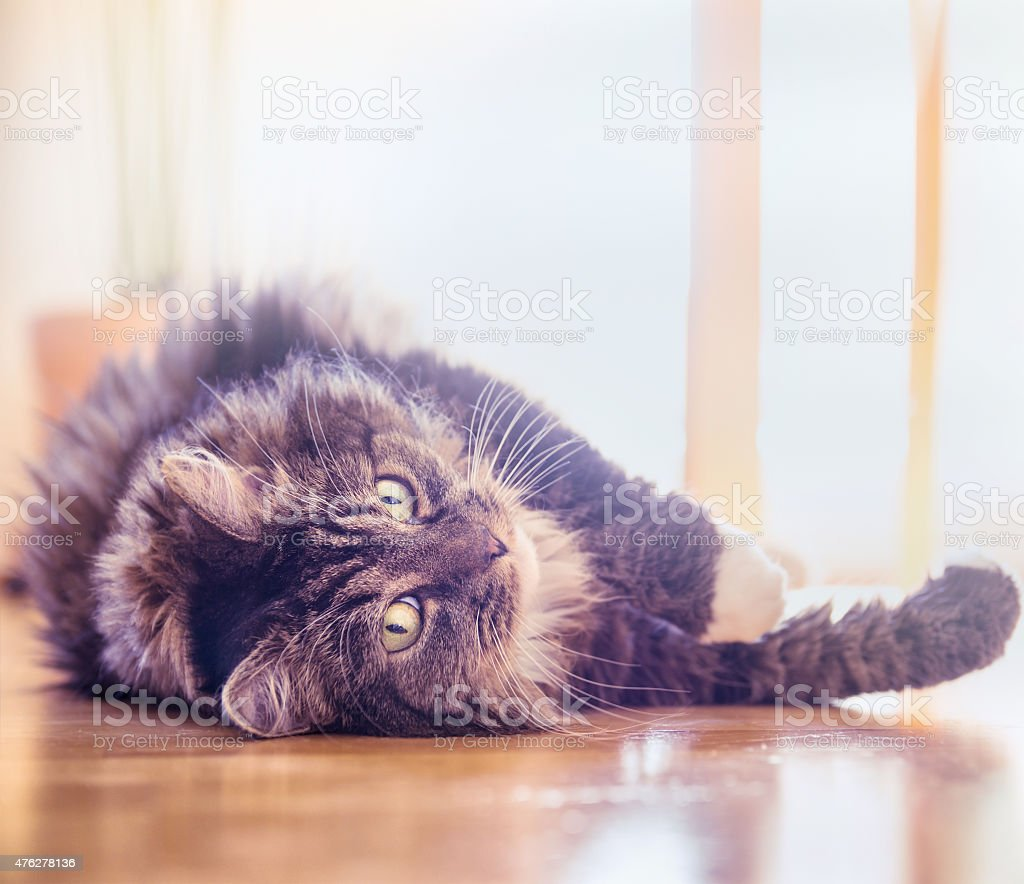 fluffy cat lying on wood floor at home stock photo