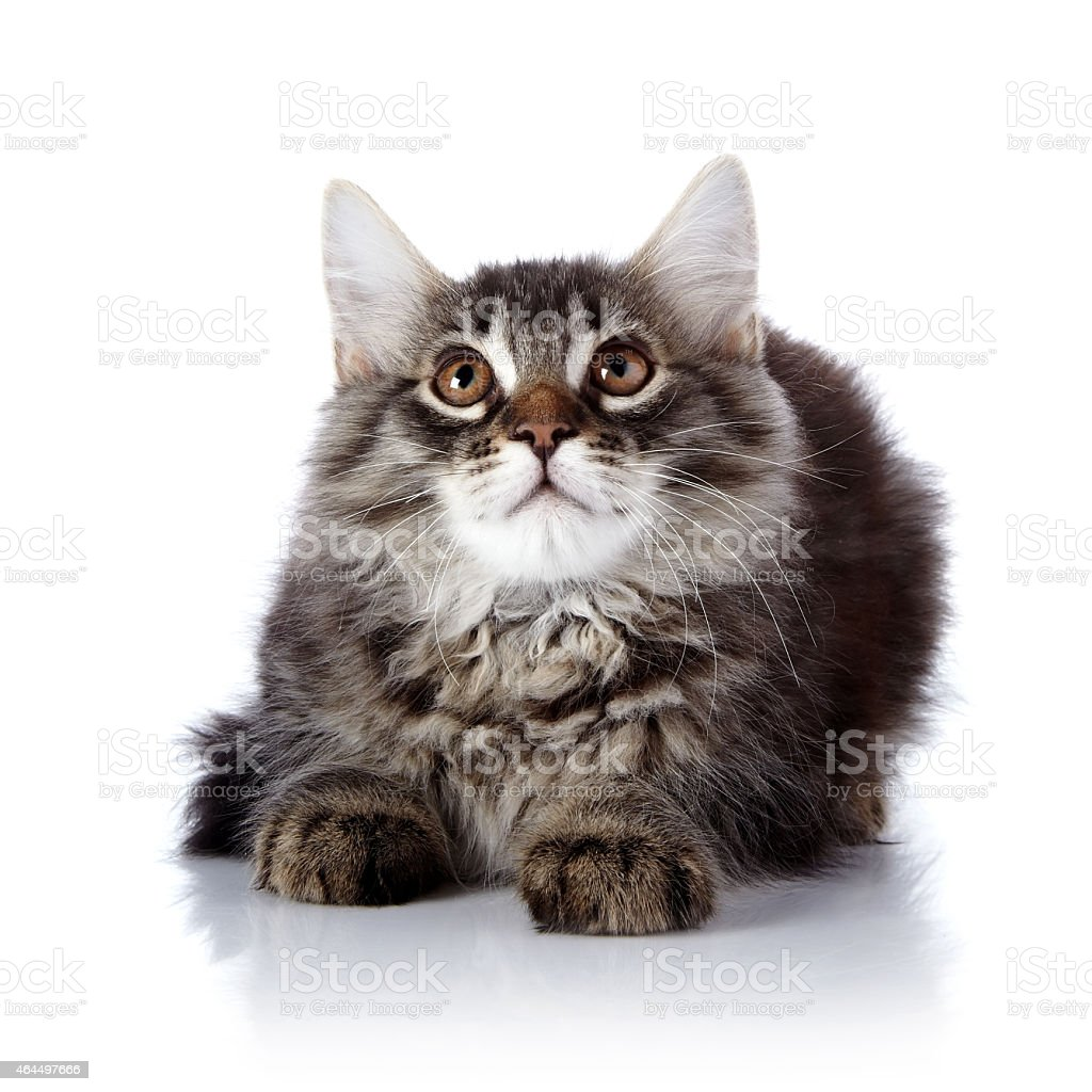Fluffy cat. stock photo