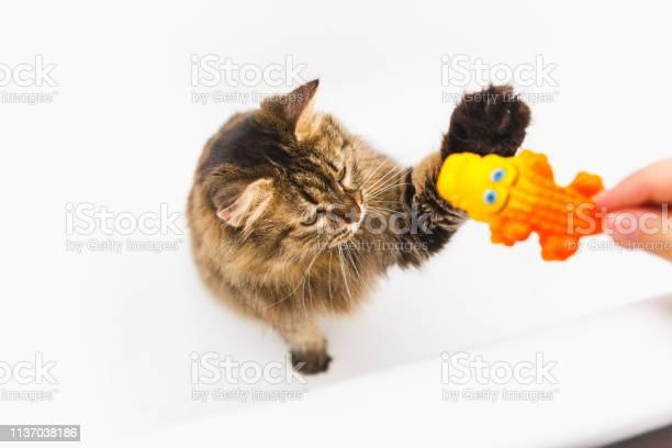Fluffy cat plays with a yellow crocodile girls hand holding a toy picture id1137038186?b=1&k=6&m=1137038186&s=612x612&h=etp0f7sbvr7j0q8lii3igcvlvcxz5zhdlpy9ygjw ae=