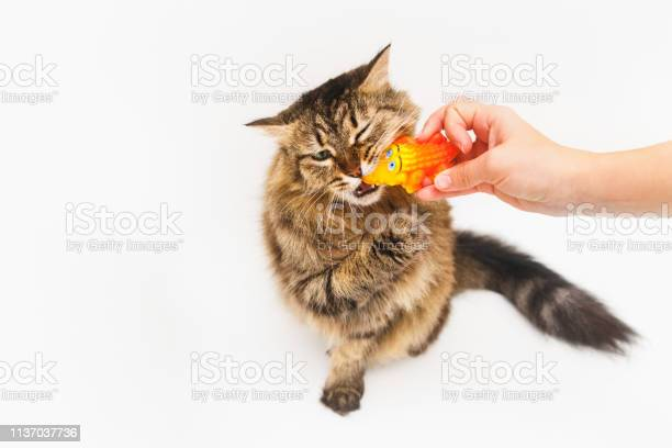 Fluffy cat plays with a yellow crocodile on a white background girls picture id1137037736?b=1&k=6&m=1137037736&s=612x612&h=w1hzq3ueb75dos6allvqyqcs6f4rwnulmiromuic wg=