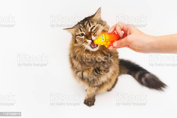 Fluffy cat plays with a yellow crocodile on a white background girls picture id1137038019?b=1&k=6&m=1137038019&s=612x612&h=f5woro5hje 0ppucdulku4tztijm jk7dwbzdsxhi m=