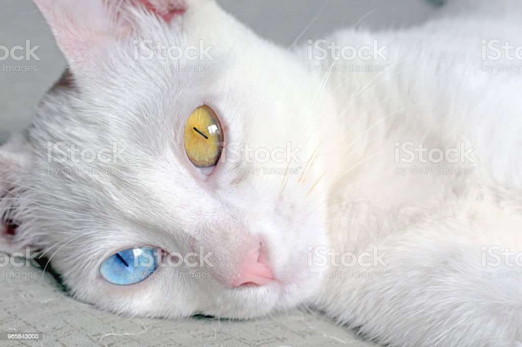 Fluffy cat with heterochromia - Royalty-free Animal Stock Photo
