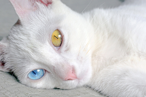 Fluffy Cat With Heterochromia Stock Photo - Download Image Now
