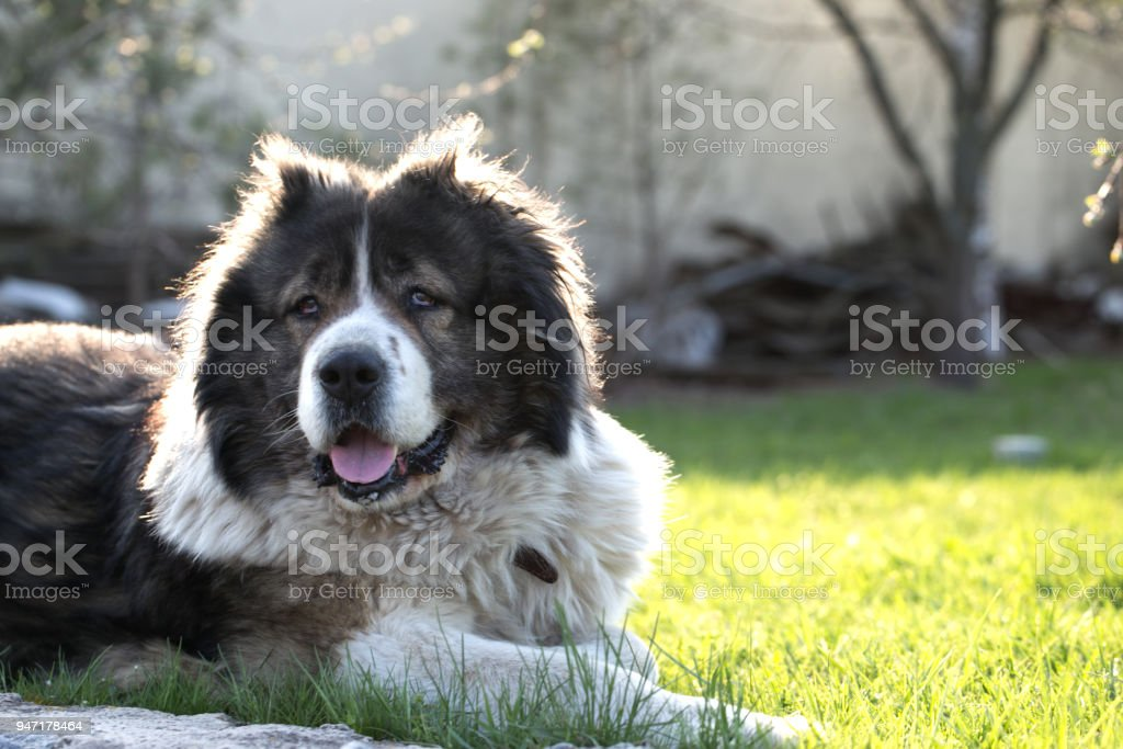 Fluffy Caucasian shepherd dog is lying on a green grass. Caucasian Shepherd dog in the yard stock photo