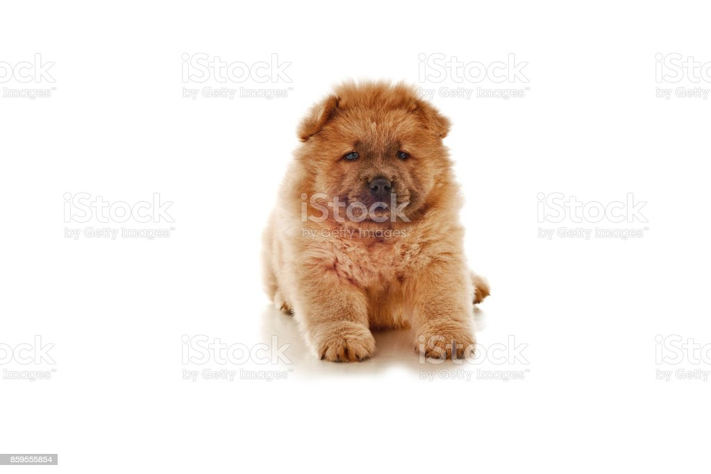 Fluffy Chowchow Puppy Isolated Over White Background Stock