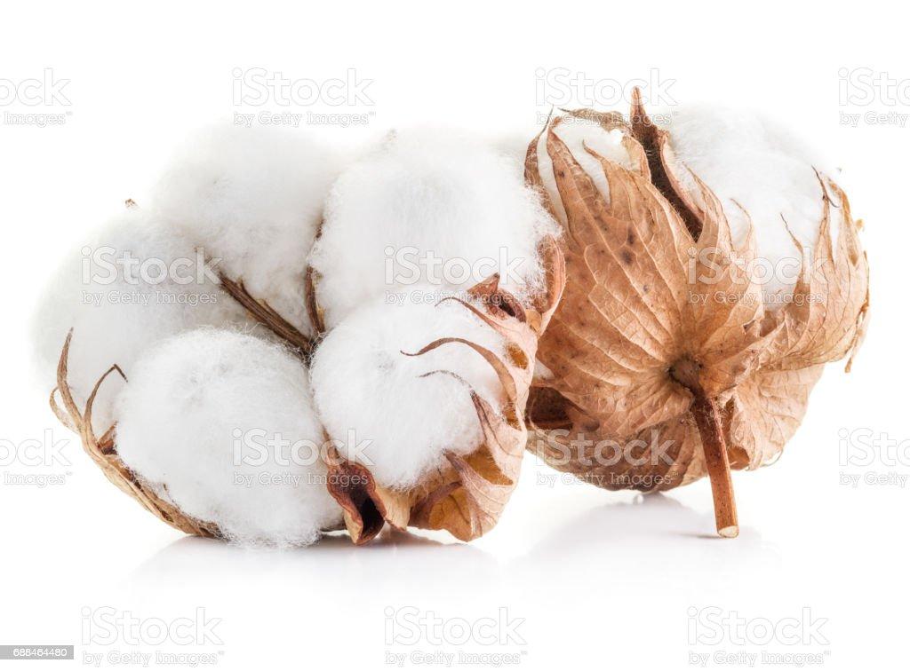 Bola de algodón esponjoso de la planta del algodón sobre un fondo blanco. - foto de stock