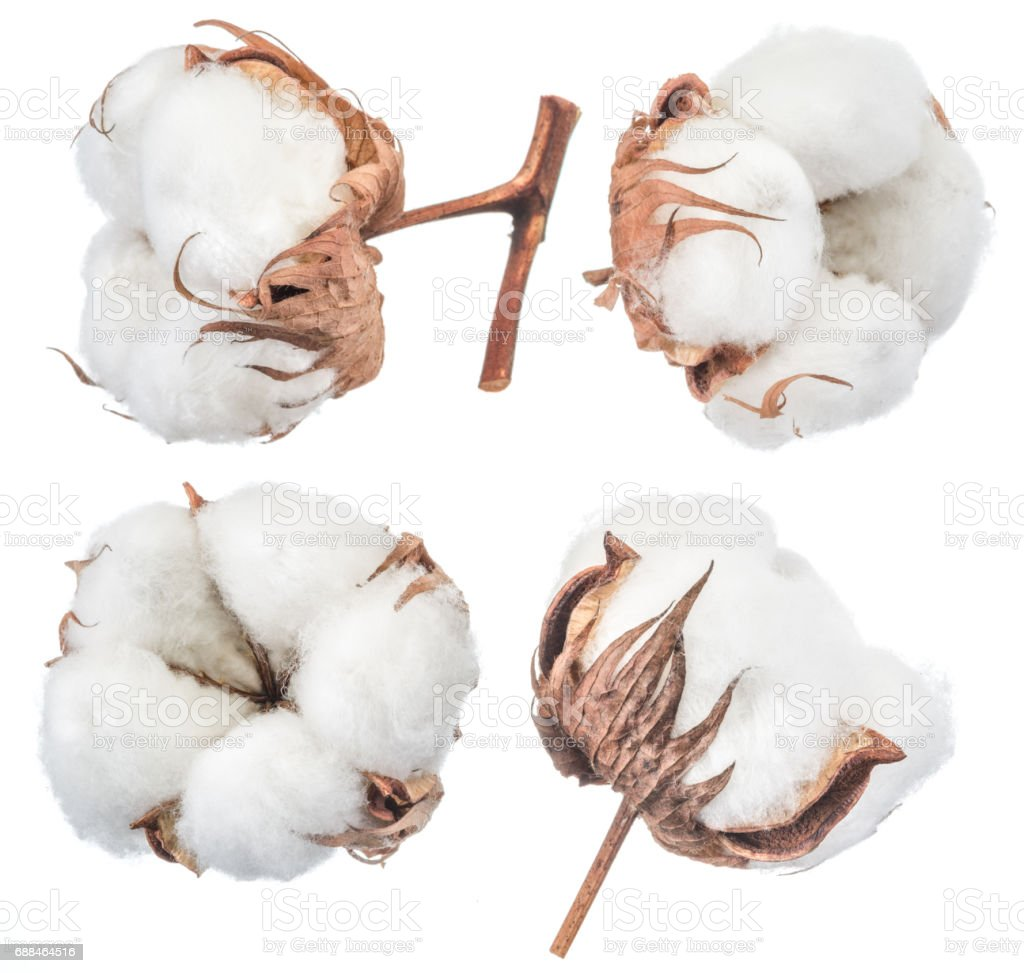 Fluffy cotton ball of cotton plant on a white background. stock photo