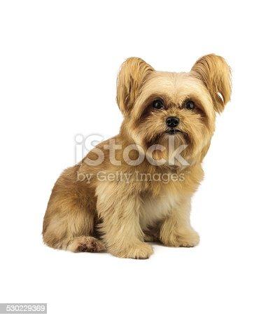 istock Fluffy Cute Dog 530229369
