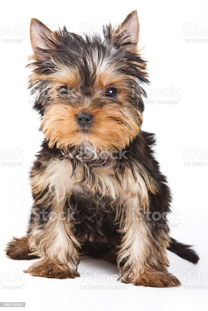 Fluffy Cute Puppy York Stock Photo Download Image Now Istock
