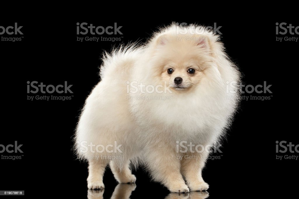 Cool German Spitz Canine Adorable Dog - fluffy-cute-white-pomeranian-spitz-dog-standing-isolated-on-black-picture-id519078618  HD_292085  .com/photos/fluffy-cute-white-pomeranian-spitz-dog-standing-isolated-on-black-picture-id519078618