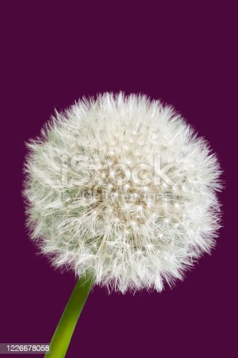 Fluffy dandelion isolated on dark purple background. Close-up view
