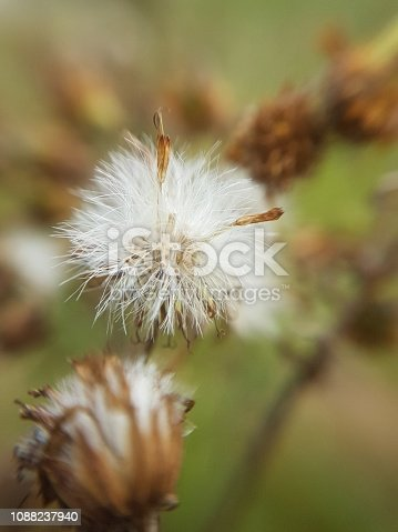istock Fluffy dandelion 1088237940