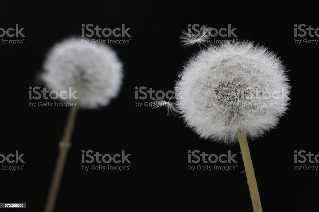 fluffy dandelion puff on black royalty-free stock photo
