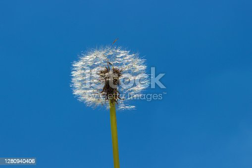 Fluffy dandelion on sky. Summer. Moscow region, Russia