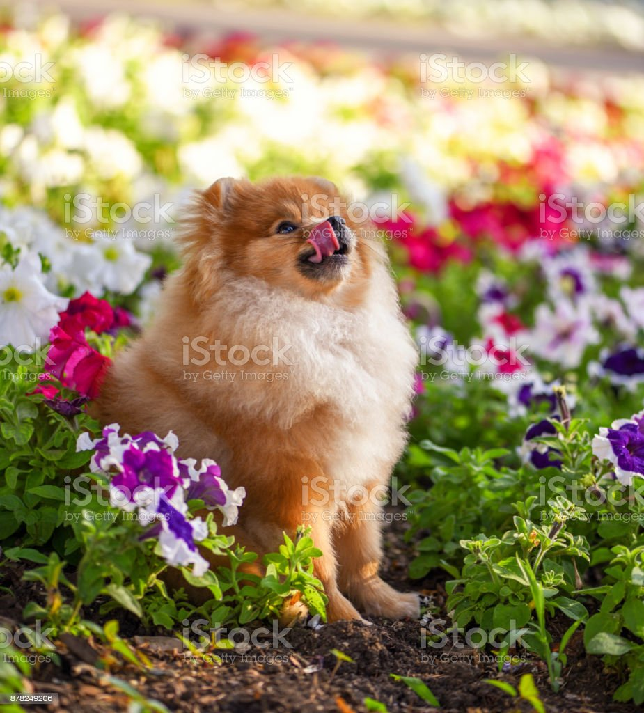Fluffy dog looks up and licked. stock photo