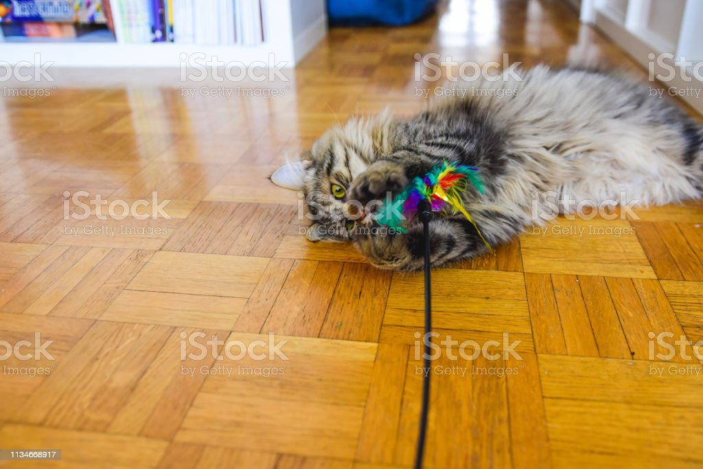 Fluffy domestic cat playing with a cat toy in the living room