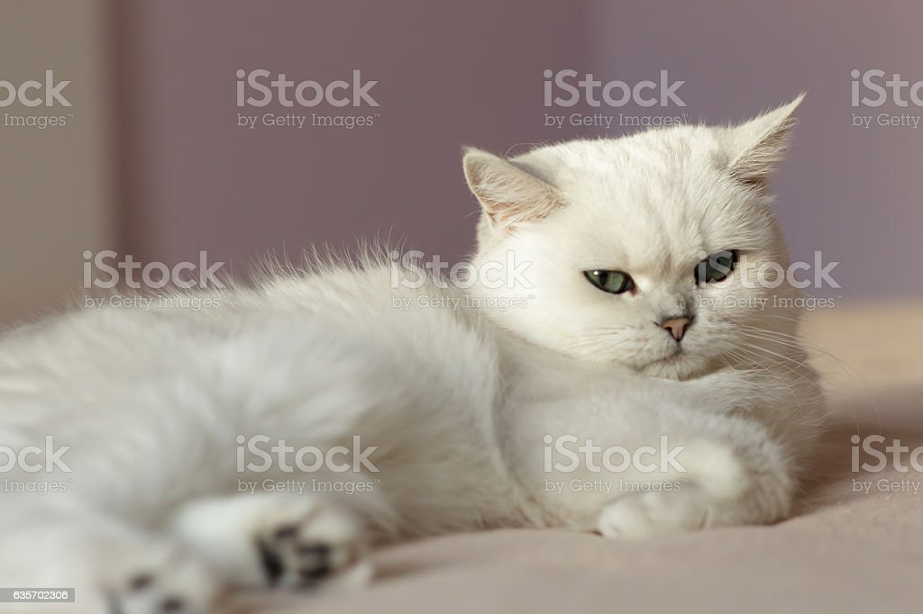 Fluffy domestic cat sitting in bedroom royalty-free stock photo