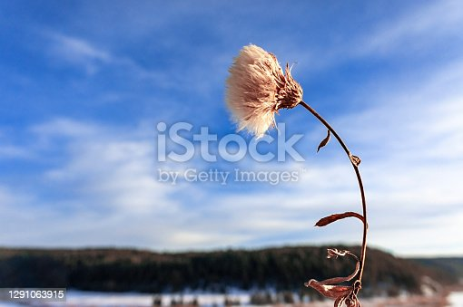 istock Fluffy dry flower close-up against the background of the blue sky and winter forest, landscape. Copy space 1291063915