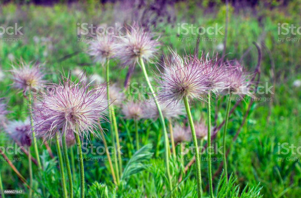 Fluffy field flowers on a background of green grass in the vicinity royalty-free stock photo