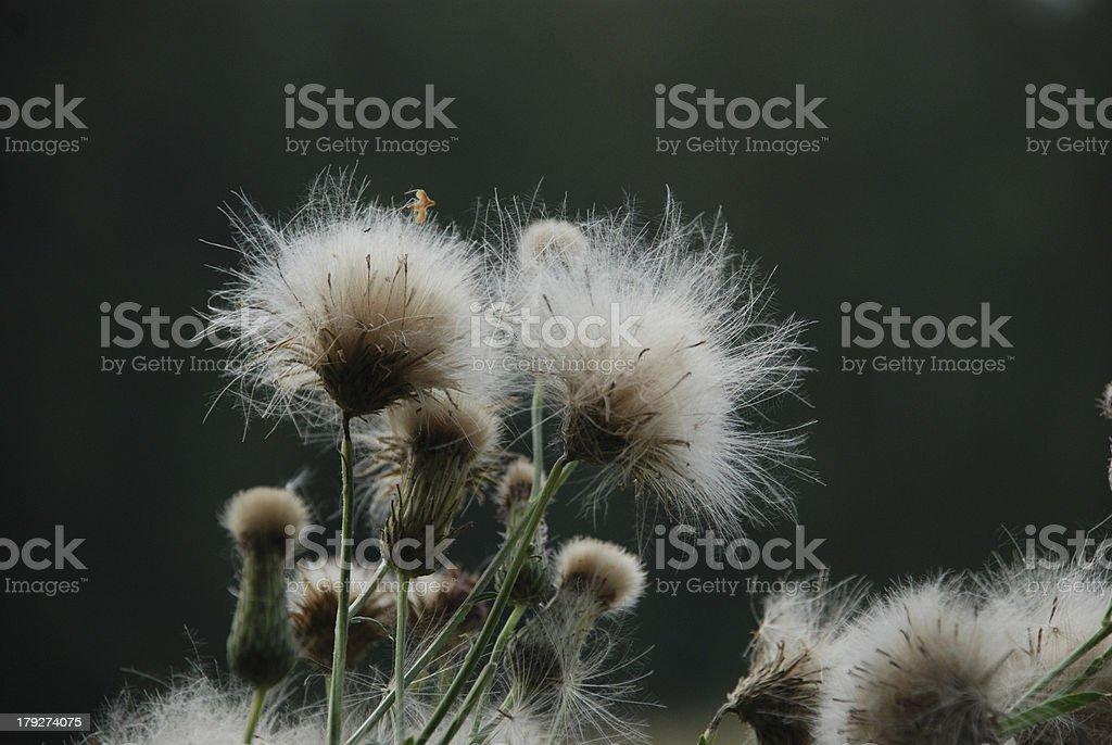Fluffy flower on a dark background stock photo